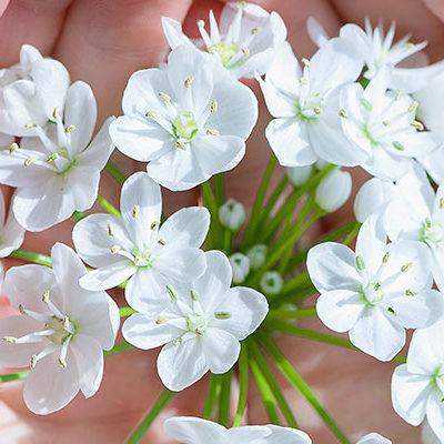 Weiße Blüten in Händen halten